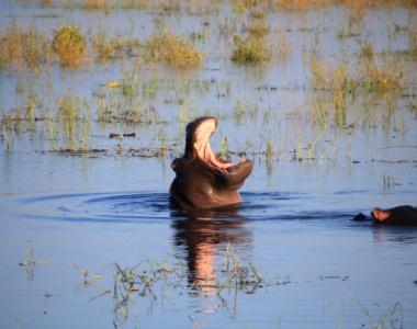 Flodhest Botswana Afrika